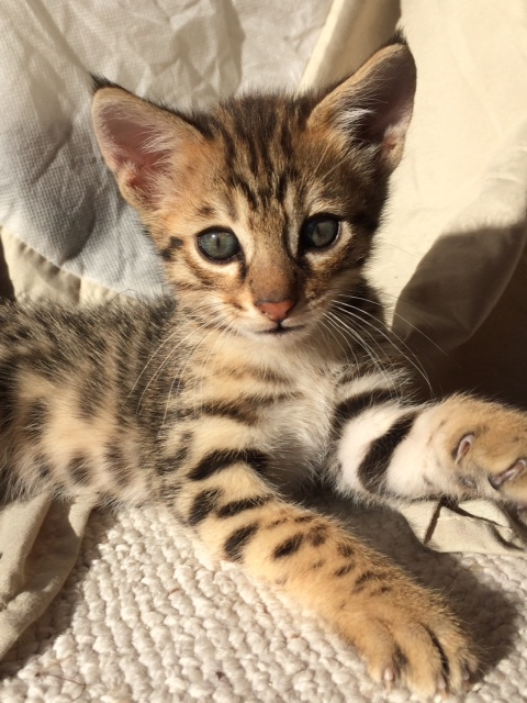 Savannah Cats - Kittens for Sale - Cat Breeder